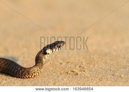 juvenile grass snake closeup on sandy beach ( Natrix )