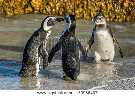 Kissing African Penguins On The Beach. African Penguin ( Spheniscus Demersus) Also Known As The Jack