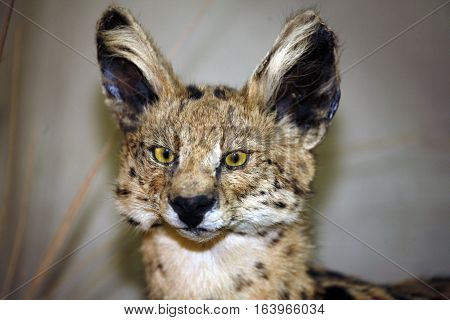 Leptailurus serval big cat head shot closeup