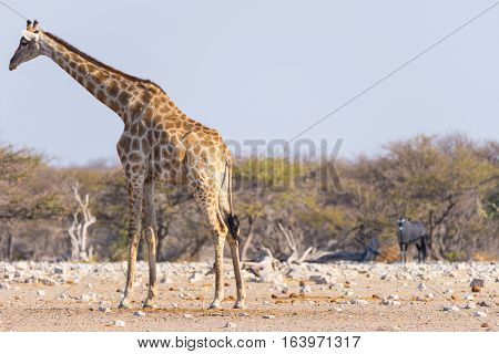 Giraffe And Oryx Walking In The Bush. Wildlife Safari In The Etosha National Park, Famous Travel Des