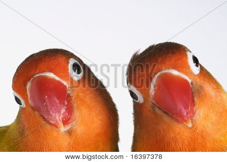 Pair of little parrots agapornis-fischeri