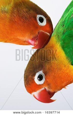 Pair of little lovebirds