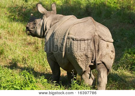 Asiatic rhinoceros