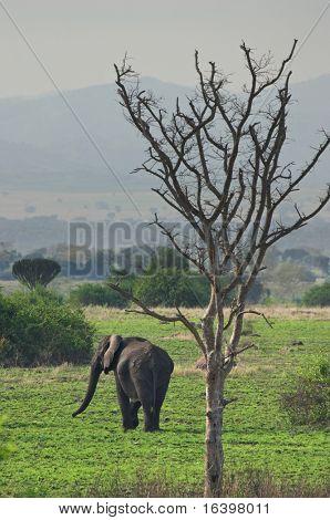 Elephant in african savanna