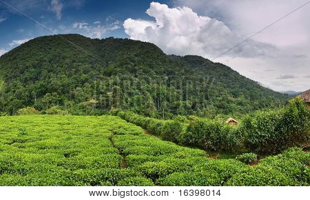 Tea plantation in Bwindi national park in Uganda