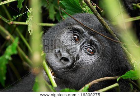 Weibchen der östlichen Berggorilla im tropischen Wald von Uganda