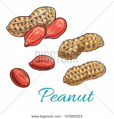 Peanut sketch of shelled nut kernel and fresh groundnut in shell. Snack food packaging, vegetarian nutrition, farm market design