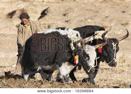Tibetan farmer plough by draught yaks