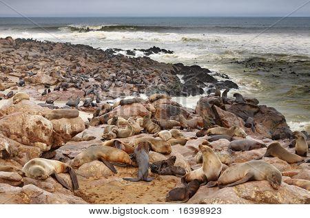 Colony of seals