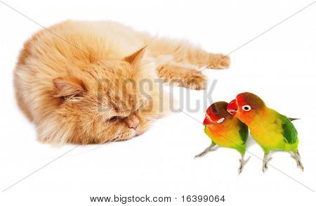 Lazy cat and two lovebirds