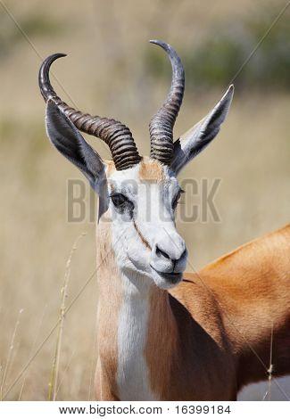 Male of springbok antelope, Etosha N.P., Namibia