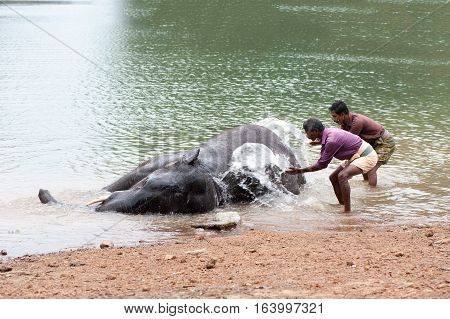 Bathing time for elephant in a lake with gadman at Kottoor Kappukadu Elephant Rehabilitation Centre, 24 October 2016, Kerala India