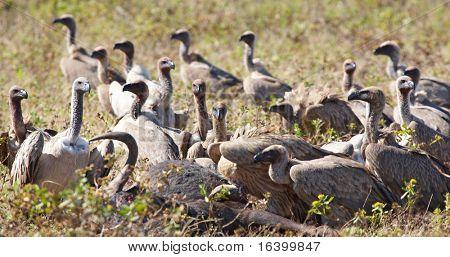 Cape vultures devours dead antelope, Etosha National Park, Namibia