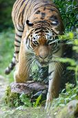 Постер, плакат: Siberian Tiger Moving Towards The Camera
