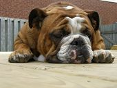 english bulldog stretched out laying on a wooden deck