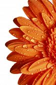 picture of daisy flower  - macro detail of an orange gerber daisy with drops of water on petals - JPG