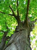 stock photo of maple tree  - maple tree looking up - JPG