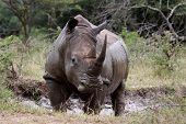 stock photo of zulu  - This white rhino was captured in the Kwa Zulu Natal national park of the iMfolozi - JPG
