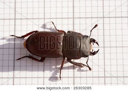 lesser stag beetle insect bug