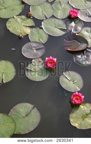 Red Pond Lillies