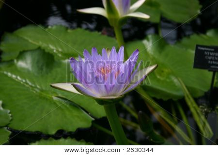 Purple Lilly Flower