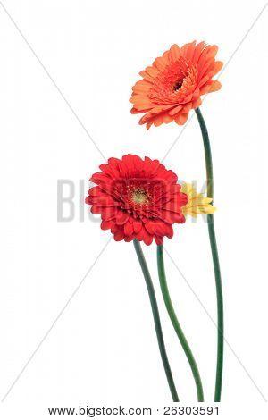 orange and yellow gerbera flowers