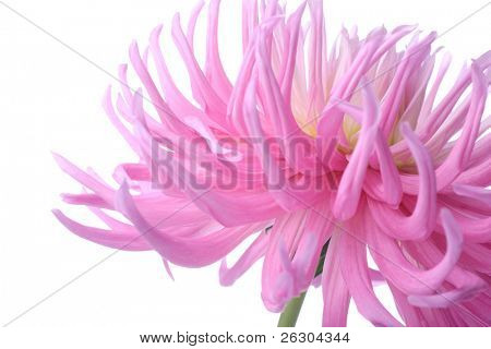 beautiful pastel pink dahlia flower