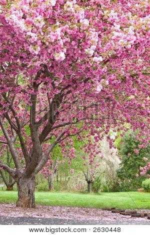Pink Flowering Cherry Trees