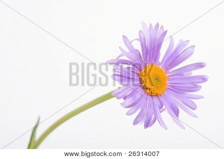 Garden violet marguerite