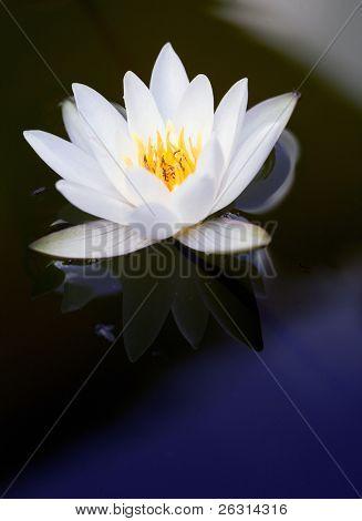 Detail von einer schönen waterlily