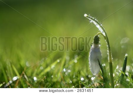 Star Sparkle Snowdrop Flower In Morning Dew