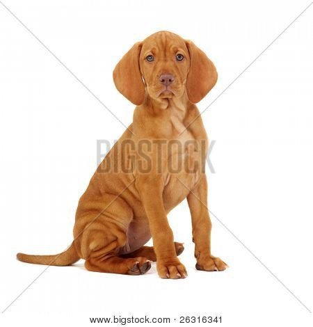 Hungarian Vizsla pointer puppy
