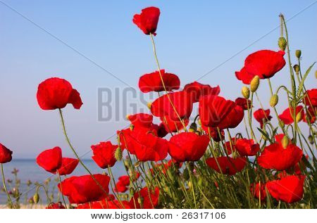 Red poppies and blue sky and sea, Greece