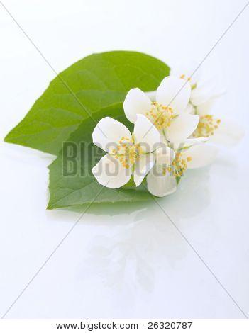 Jasmine flowers. Shallow DOF