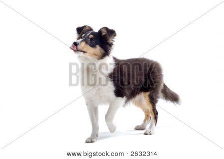 Shetland Dog'S Looking Up