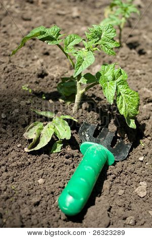 Cultivation of the soil near the growing seedling of tomato