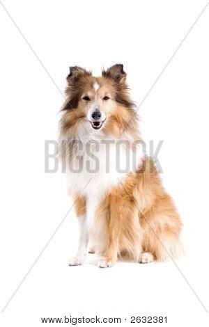 Happy Shetland Dog'S Posing