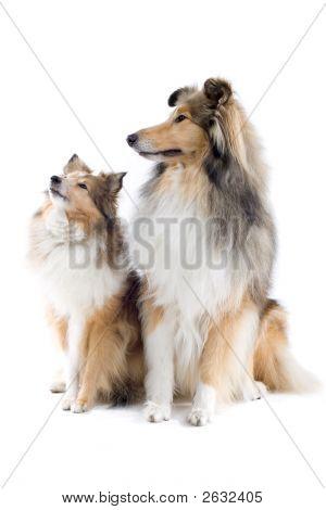 Adorable Shetland Dogs