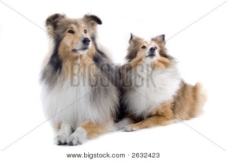 Two Adorable Shetland Dogs Posing