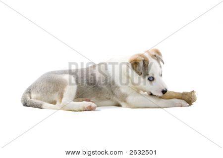 Adorable Husky Spaß mit seinem Spielzeug