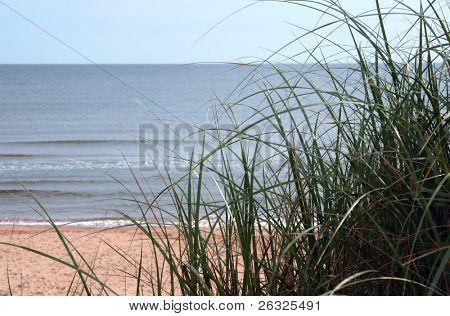 Beach grass on a sand dune overlooking the ocean.