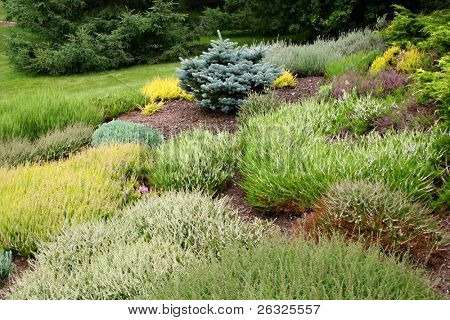 Heaths, heathers and evergreens in an alpine garden.