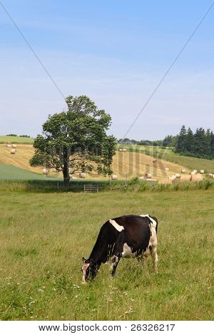 A cow grazing in a farm field with hay bales in the distance.
