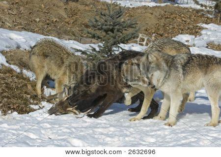 Gray Wolves On Kill
