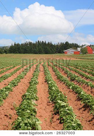 Rows of potatoes on a Prince Edward Island Farm.
