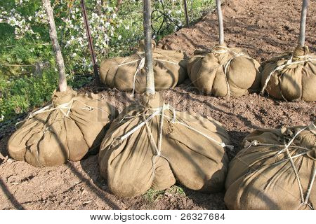Deciduous trees whose root systems are 'balled and burlaped' in a local tree nursery.
