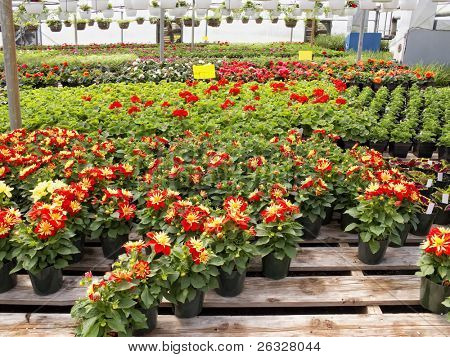 Inside a greenhouse. Pots of dahlias are in the foreground with a mix of begonias and geraniums in the back.