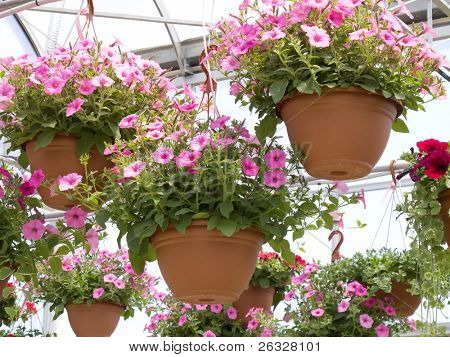 Pink petunia hanging baskets for sale in a glass greenhouse.