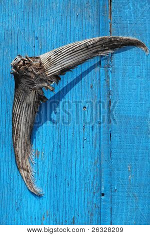 A tail of a bluefin tuna nailed to the door of a fisherman's bait shed.  Bluefin tuna are part of the commercial fishery on Prince Edward Island, Canada.