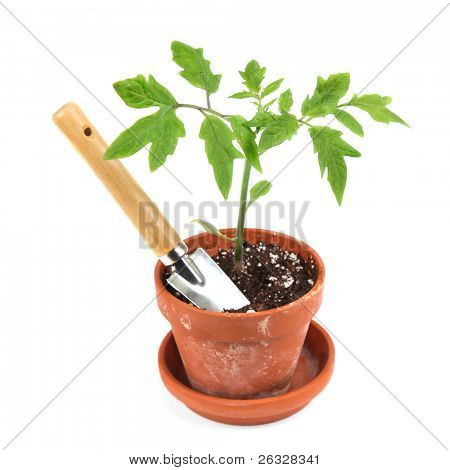Young tomato seedling in a clay pot with a garden trowel.